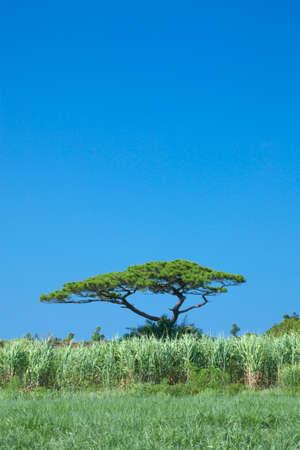 ryukyu: Sugar cane fields and the Ryukyu pine