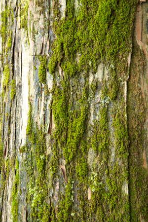 tree position: Mossy cedar old