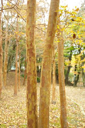 defoliation: Defoliation was Himeshara forests Stock Photo