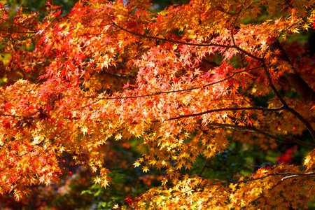 hachimangu: Maple leaves