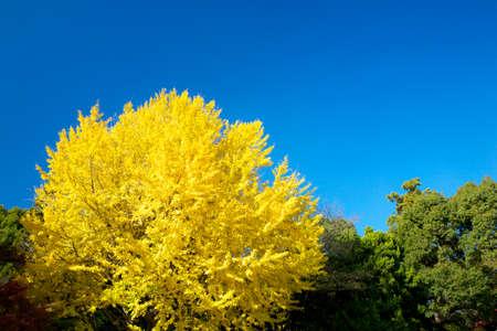 hachimangu: Yellow leaves of the Ginkgo tree Stock Photo