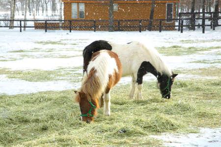 grazing: Grazing pony