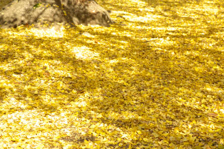 filtering: Leaves of the Ginkgo tree