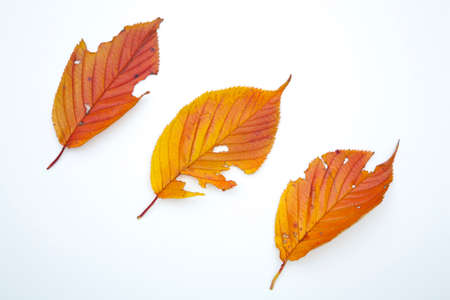 grime: Cherry leaves Stock Photo