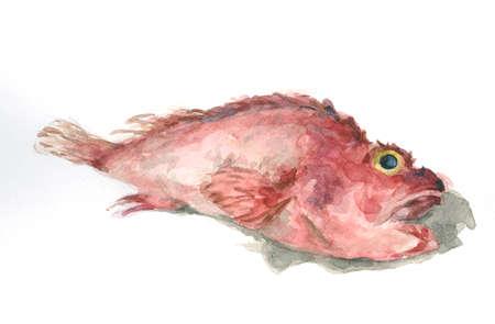 scorpionfish: Scorpion fish Stock Photo