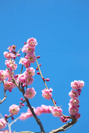 pleasent: Plum blossom