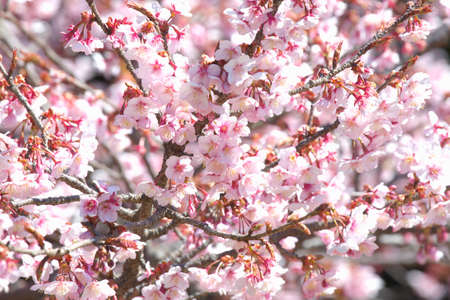 winter cherry: Winter cherry Stock Photo