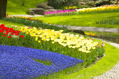 garden scenery: Tulips and Muscari Stock Photo
