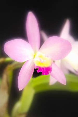 cattleya: Orchid  Cattleya Stock Photo