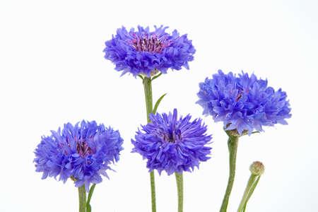 cornflower: Cornflower  Cornflowers Stock Photo
