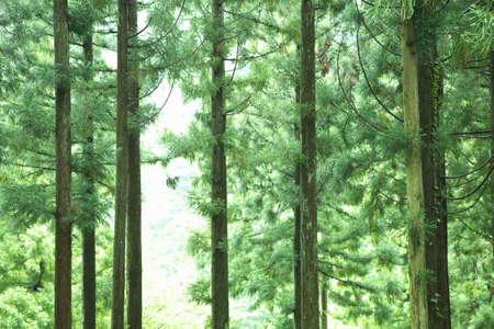 cedar: Cedar trees