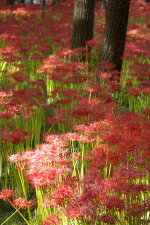 spider lily: Of purse field red spider lily