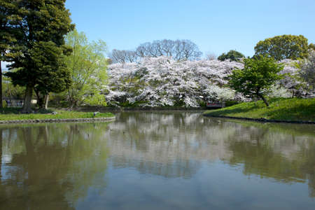 hachimangu: Cherry of the tsurugaoka hachimangu shrine and Genpei ponds