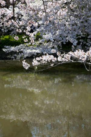 Cherry of the tsurugaoka hachimangu shrine and Genpei ponds