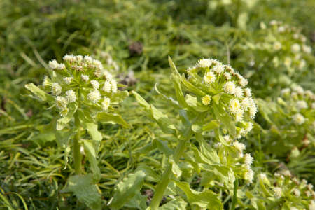 butterbur: Butterbur sprout