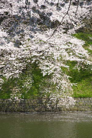 moat: Moat and cherry blossoms