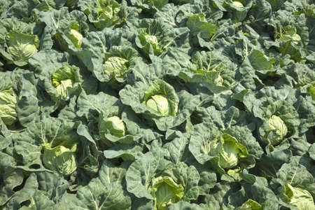 cabbage patch: Spring cabbage patch of the Miura peninsula