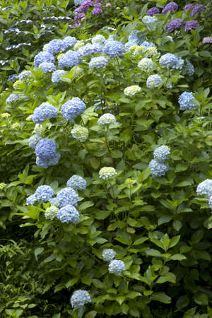 dera: Hydrangea of the hasedera Temple and lookout trail