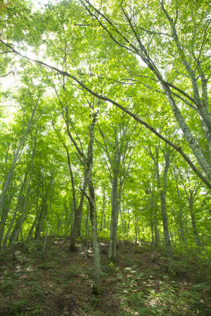 Beech forest of the shirakami-Sanchi