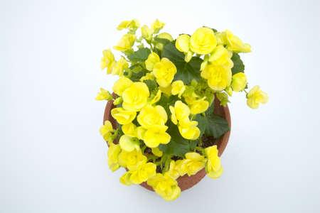 begonia: Rigas Begonia Stock Photo