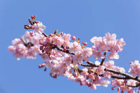 pleasent: Kawazu cherry blossom Stock Photo