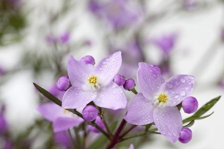 pinata: Boronia Pinata flowers