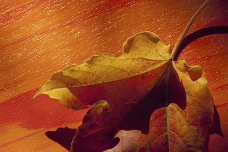 プラタナス: Autumn leaves of sycamore 写真素材