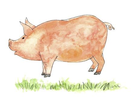 shah: Pig