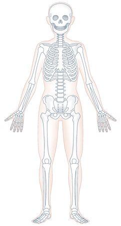 Human skeleton model 스톡 콘텐츠