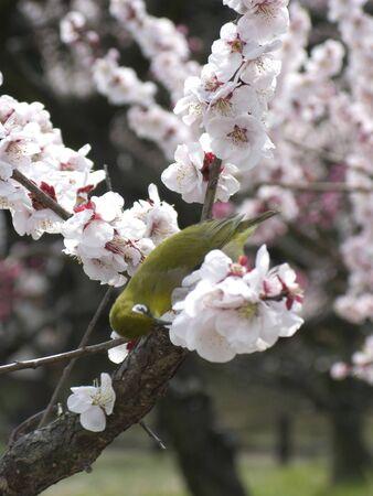osakajo: Plum flowers and birds Stock Photo