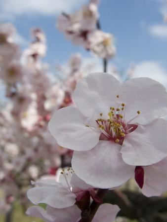 osakajo: Plum blossom