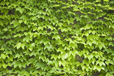 ivy wall: Wall of ivy
