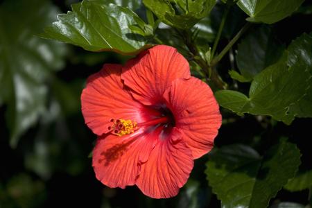 temperate region: Hibiscus