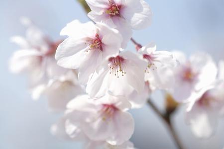along: Cherry blossoms along the Okawa