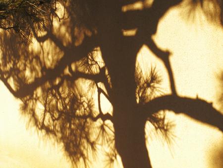 shadow: Shadow of pine
