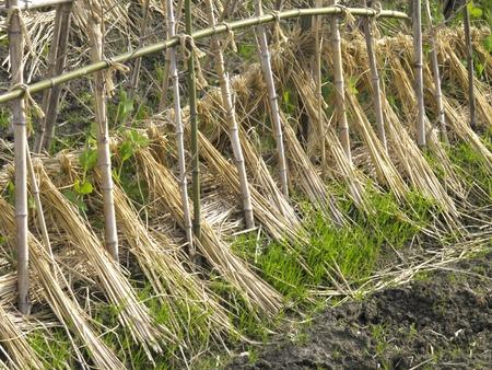 seedlings: Seedlings of pea
