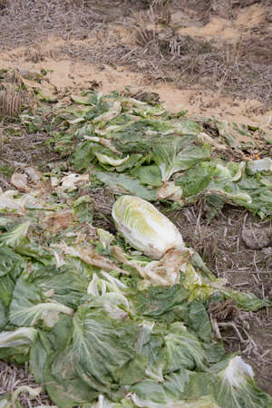 wilted: The wilted cabbage Stock Photo