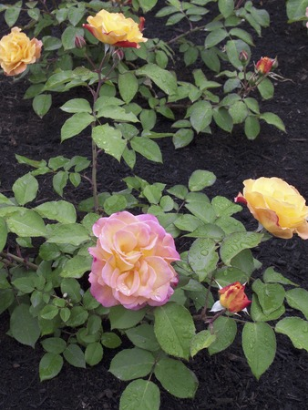 greening: Greening Burke and roses