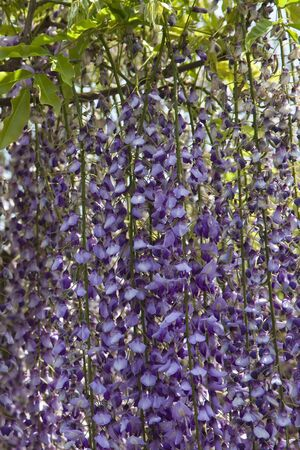 wisteria: The wisteria flowers