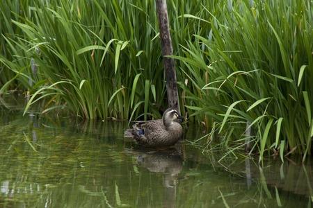 irises: Duck and irises Stock Photo