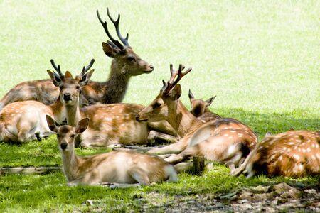 deer spot: NARA Park deer Stock Photo