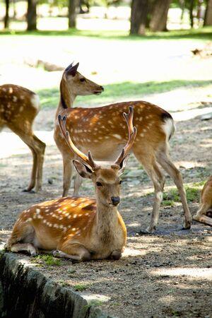 cool off: NARA Park deer Stock Photo