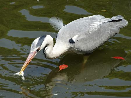 living organism: Grey heron Stock Photo