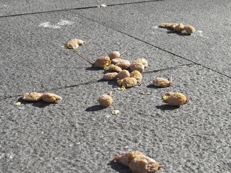 stench: Stepped on Ginkgo nuts