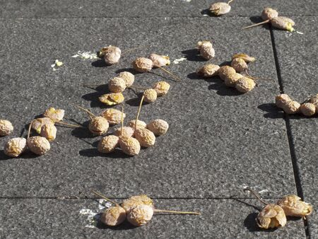 stepped: Stepped on Ginkgo nuts