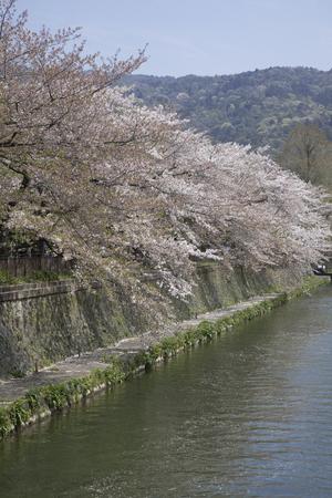 hydrophobic: Cherry blossoms and the Lake Biwa
