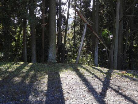 relent: Cedar tree my forest