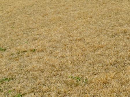 japonica: Zoysia japonica