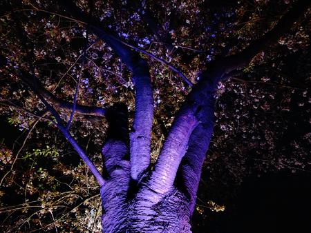lightup: Sakura light up