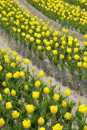 asian tulips: Tulip field Stock Photo